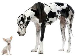 cane Alano e Chihuahua