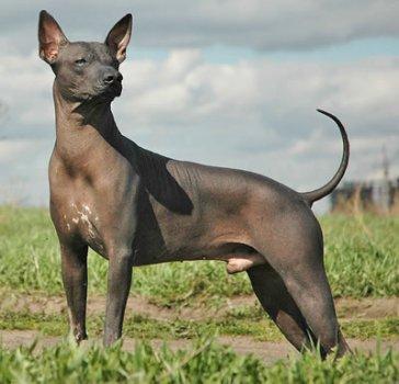 cane-peruviano